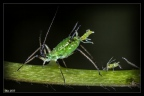 birth aphid