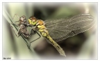 dragonfly 1